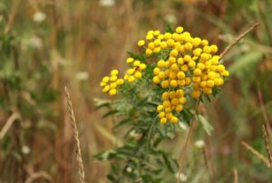 Пижма обыкновенная цветки